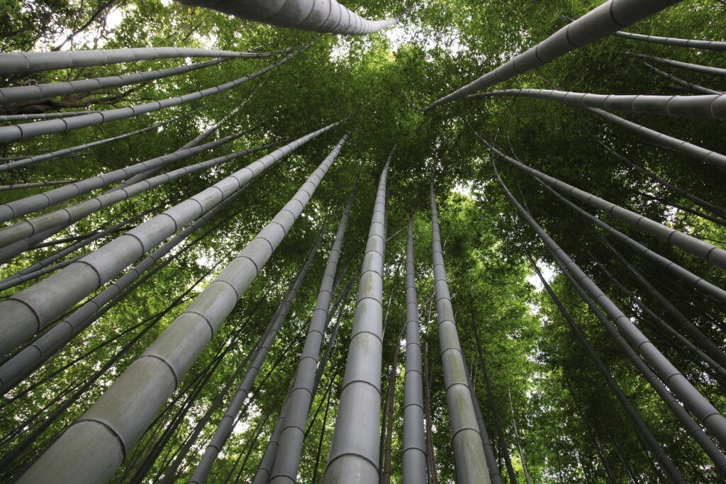 Sustainable moso bamboo forest