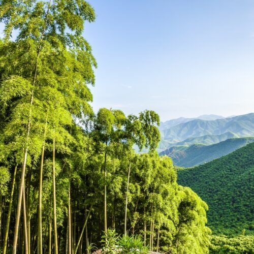 MOSO Bamboo growth and forest in China