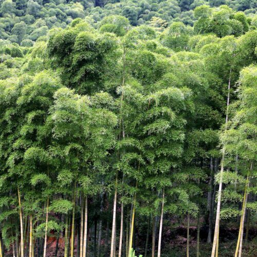 MOSO Bamboo growth