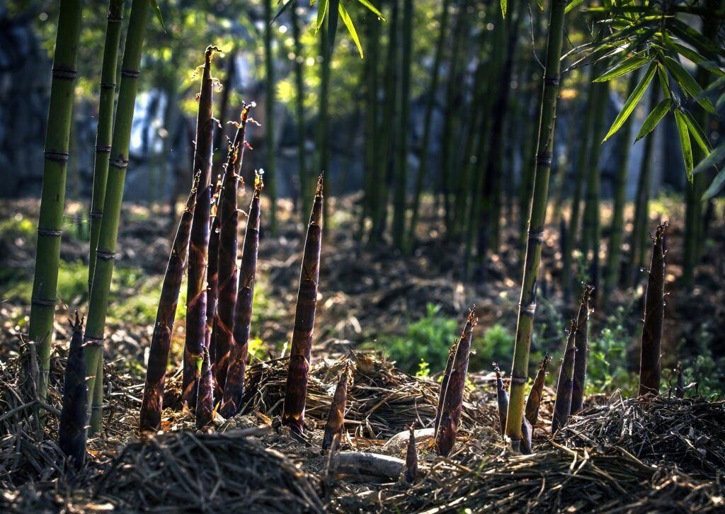 Schnelle Wachstum Moso bambus